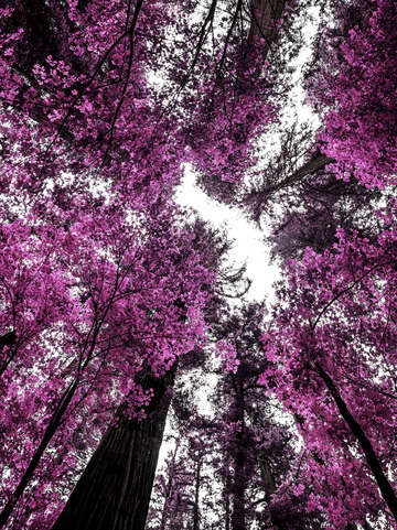 The purple forest
