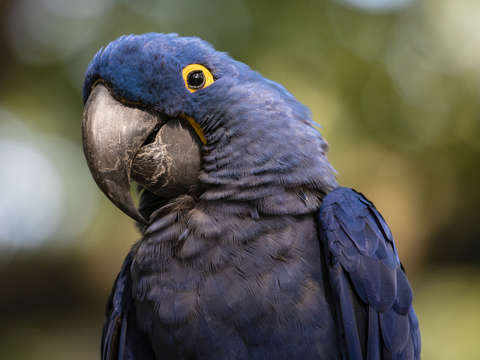 Blue and gold macaw 2