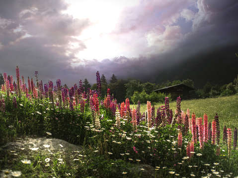 Swiss mountain lupine