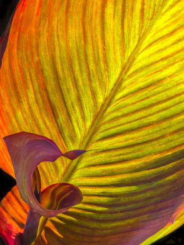 Back lit banana leaves