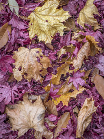 Red and norway maple leaves