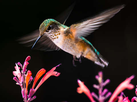 Female hummingbird in flight
