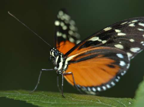 Butterfly unfolding wings