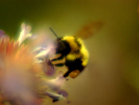 Bumblebee licking flower