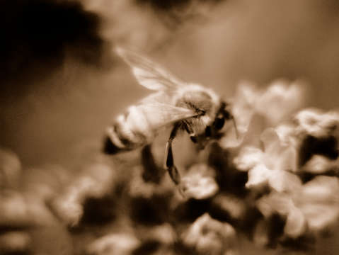 Bee in sepia tone