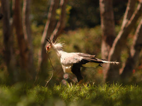 Secretary bird with branch