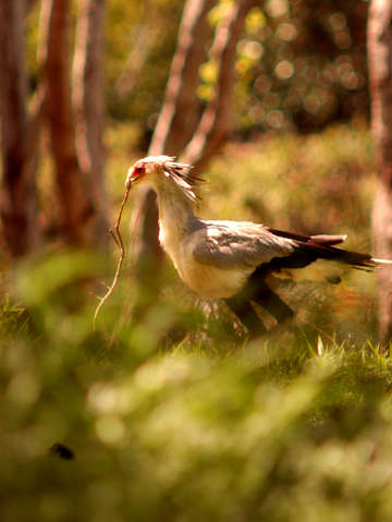Secretary bird on watch