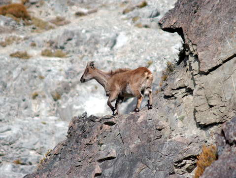 Tahr on cliff