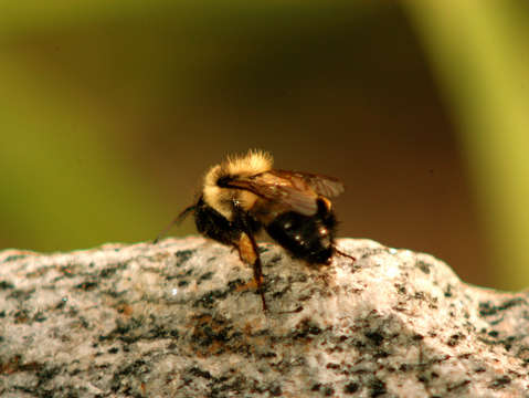 Bumblebee on rock