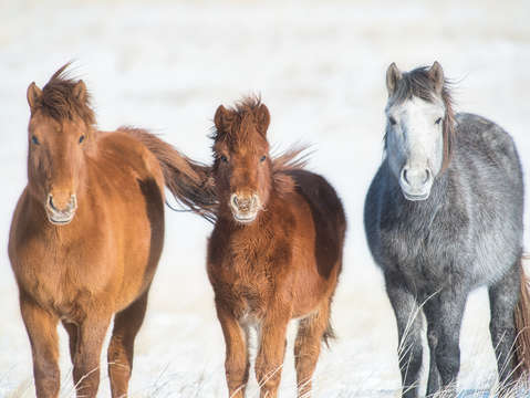 Mongolian horses on the winter tundra 2