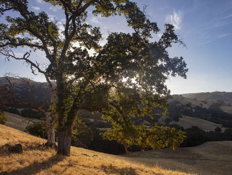 Sunol oak tree 1