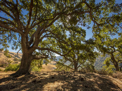 Sunol oak tree 6