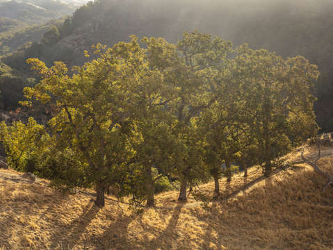 Sunol oak tree 7