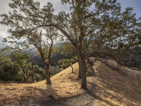 Sunol oak tree 8