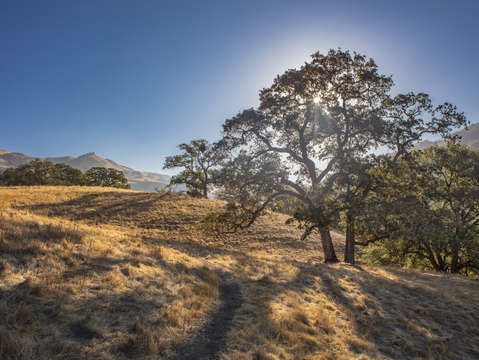 Sunol oak tree 9
