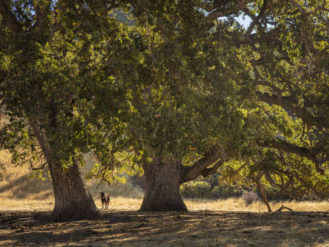 Sunol oak tree 10