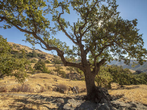 Sunol oak tree 11