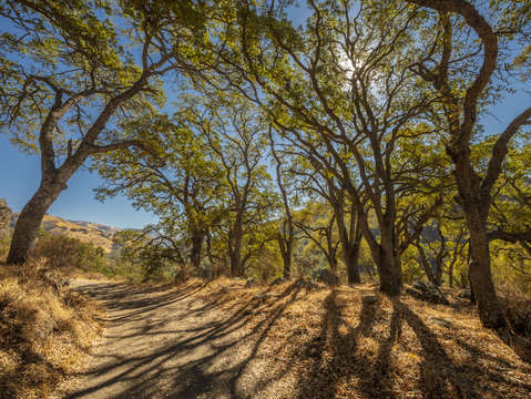 Sunol oak tree 12