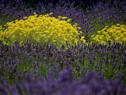 Lavender and marigold