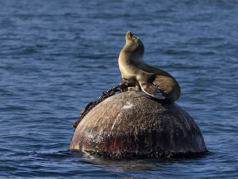 Monterey bay sea lion