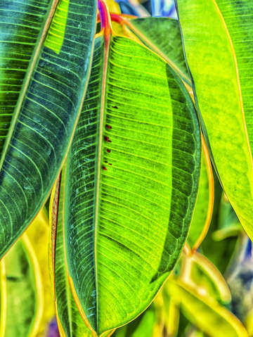 Bright green for the rubber tree