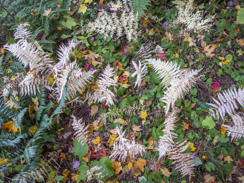 Autumn ferns 1