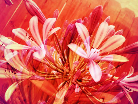 Lilies on fire