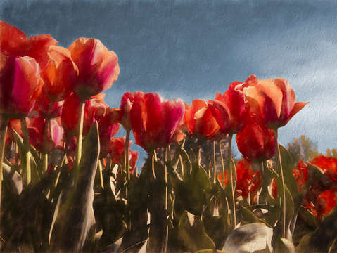 Red tulips 6
