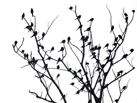Silhouetted flock of birds
