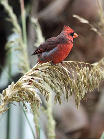 Cardinal on seagrass