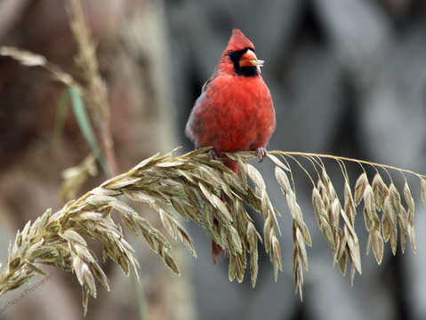Cardinal eating seagrass
