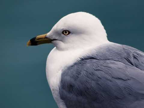 Chicago gull