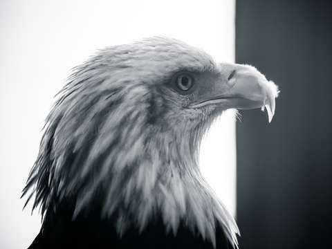 Black white bald eagle profile