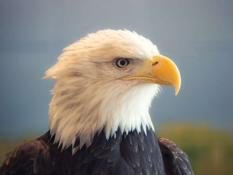 Bald eagle portrait 3