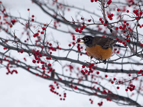 Winter robin with red berries