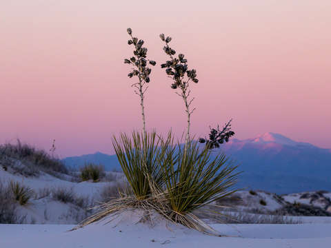 Yucca white sands new mexico