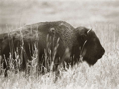 Brooding bison