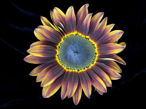 Pastiche sunflower
