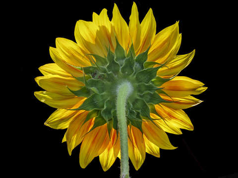 Back lit sun saba sunflower