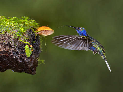 Violet Winged Hummingbird and Tree Frog