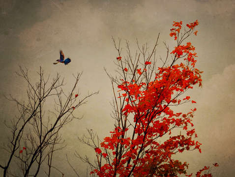 Blue jay fall