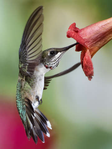 Young Male Ruby Throated Hummingbird Feeding
