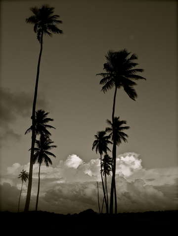 Black white palms