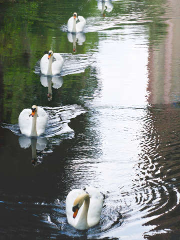 Five swans at bok tower