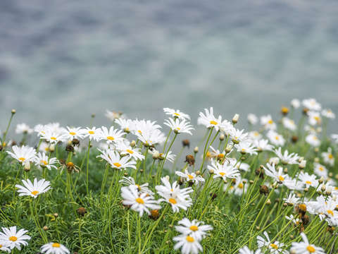 Dainty daisies by the seaside 2