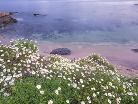 Dainty daisies above the cove