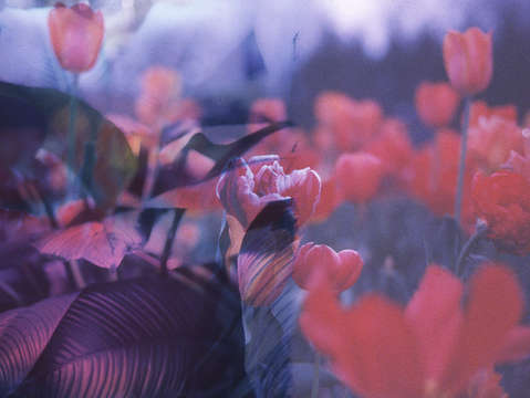 Dreamy tulips