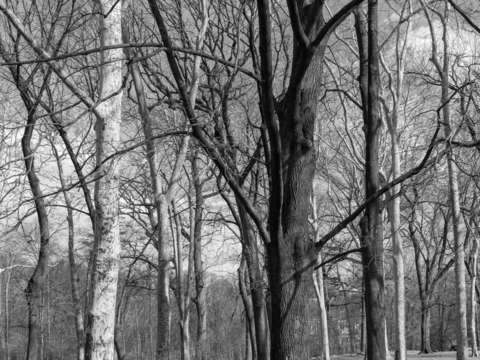 Black and white winter trees in prospect park broo