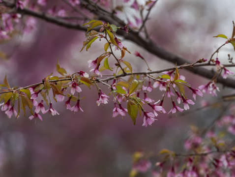 Cherry blossoms 2 5