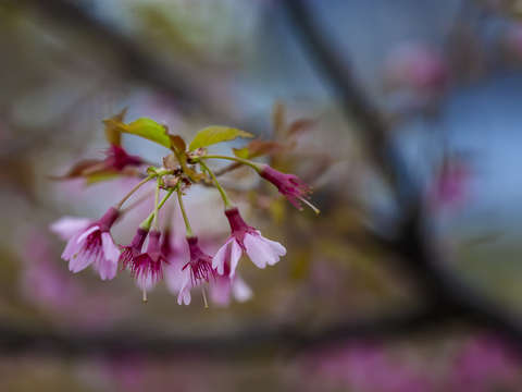 Cherry blossoms 4 3